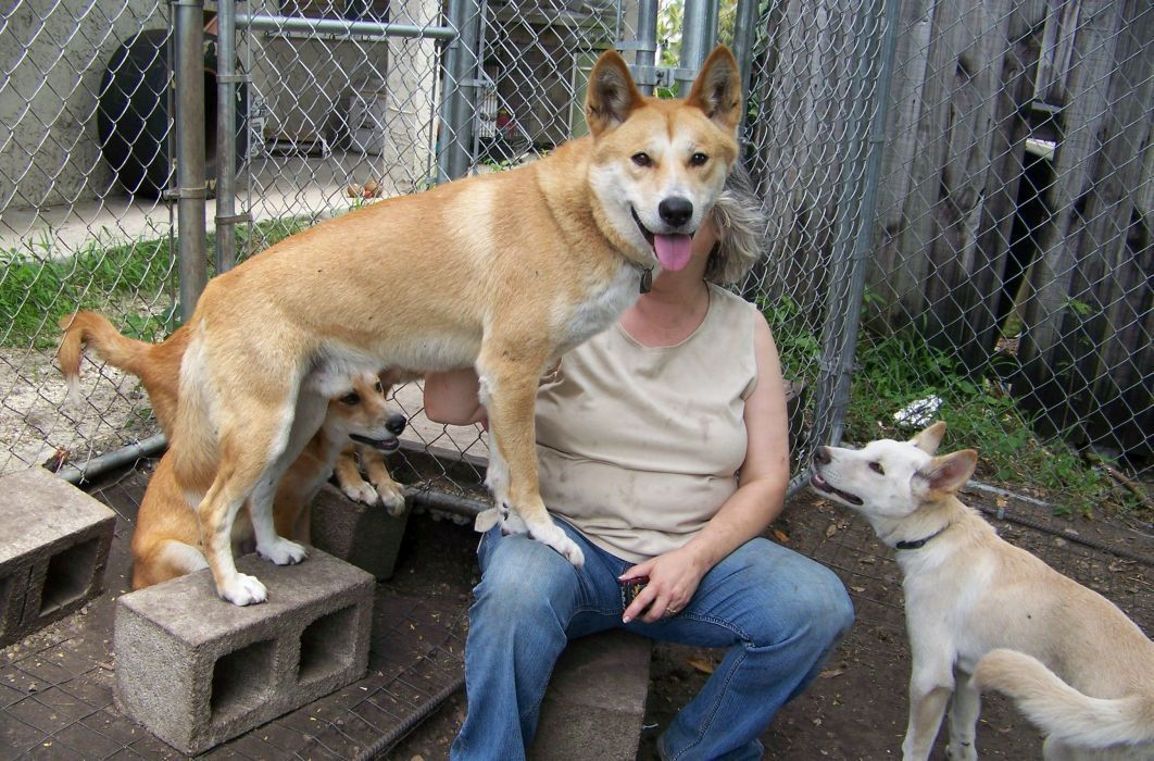 dingoes lineage