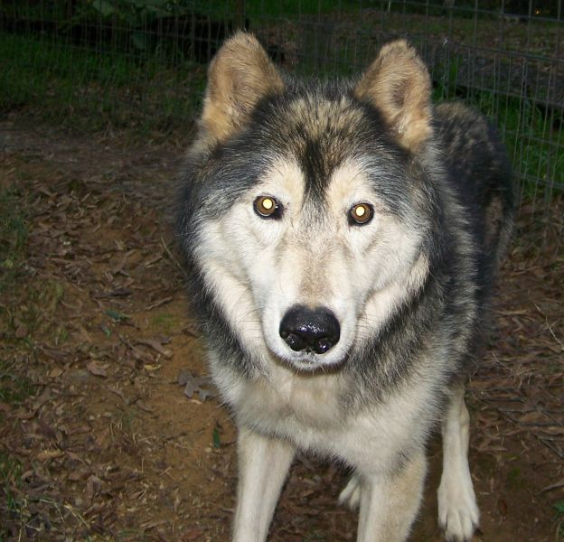 Timber, a mid content, malamute-cross wolfdog, at 13 yrs old.