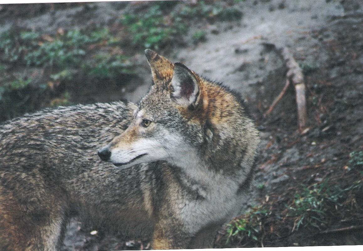 Coyote dog hybrid